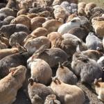 אוקונושימה – אי הארנבים היפני