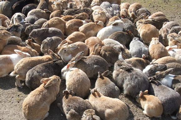 OKUNOSHIMA rabbits