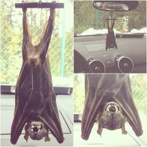 פוחלץ עטלף