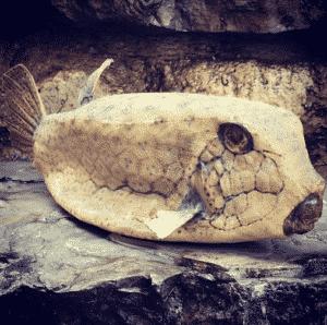 פוחלץ של דג