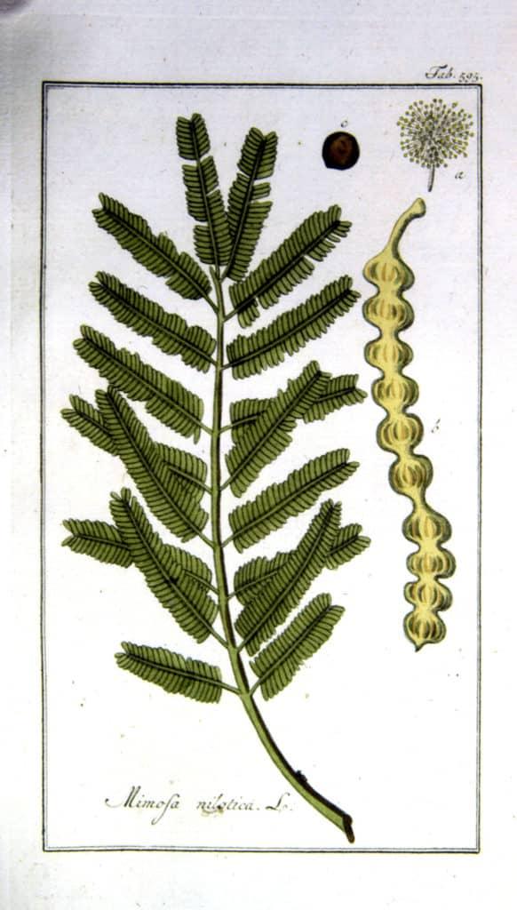 Acacia nilotica rikavon